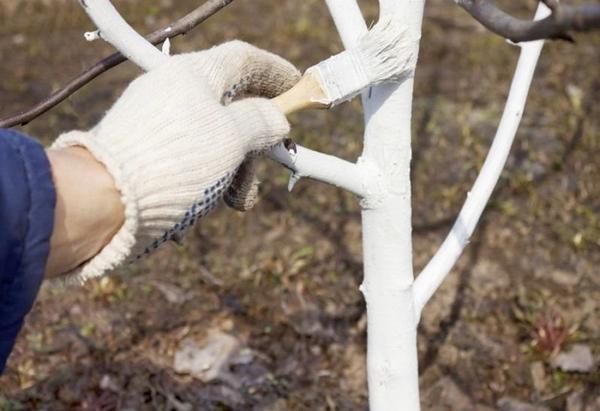В марте следует побелить штамбы и скелетные ветви