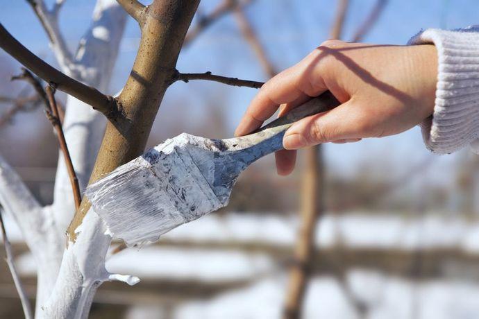 Обработать ствол дерева известью можно в феврале, однако необходимо дождаться периода оттепели
