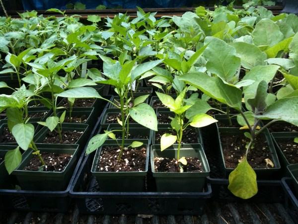 Когда сажать перцы на рассаду в 2019 году: рекомендации, советы и даты (обновлено)
