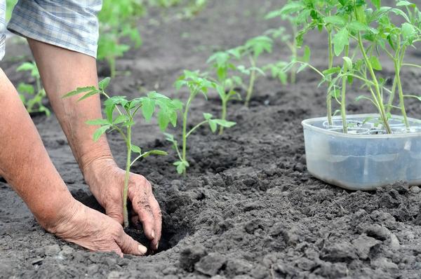 Когда сажать помидоры на рассаду в 2019 году: секреты, даты, советы (обновлено)